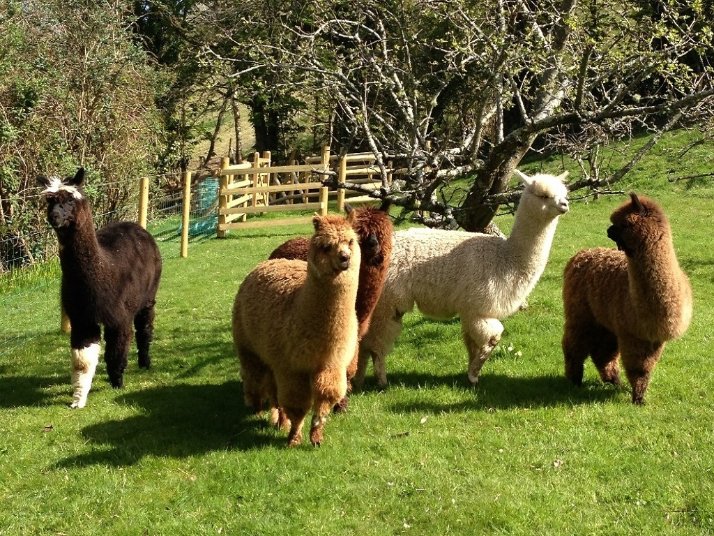 Ben, John, Hector, Sammy and David are our alpacas